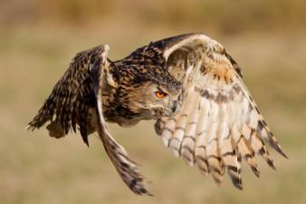 Eagle-Owl in flight