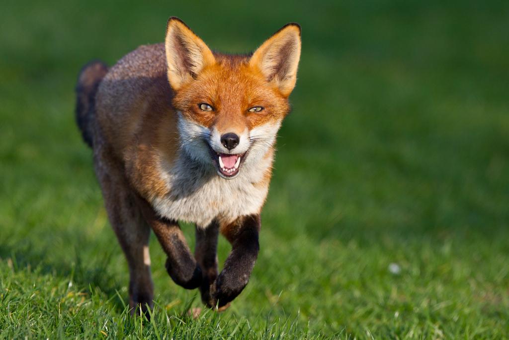 Red fox running